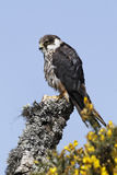 Hobby, Falco subbuteo. Single captive bird on branch, Midlands, April 2011 Royalty Free Stock Photos