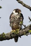 Hobby, Falco subbuteo. Single captive bird on branch, Midlands, April 2011 Stock Photo