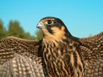 Hobby falcon. The young hobby falcon on a sky background Royalty Free Stock Photo