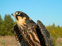 Hobby falcon Stock Photos