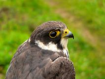 Hobby Falcon Royalty Free Stock Photography