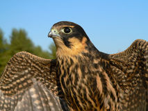 Hobby falcon Stock Photo