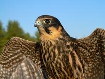 Hobby falcon Stock Photo