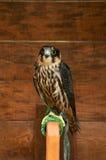 Hobby falcon bird sitting on a perch Stock Photography