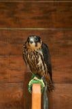 Hobby falcon bird sitting on a perch Royalty Free Stock Photo