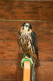 Hobby falcon bird sitting on a perch Royalty Free Stock Images