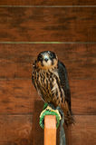 Hobby falcon bird sitting on a perch Stock Photos