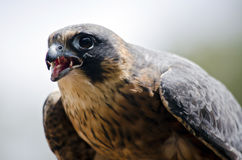 Hobby falcon Stock Image