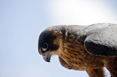 Hobby falcon Royalty Free Stock Images