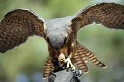 Hobby falcon Royalty Free Stock Image