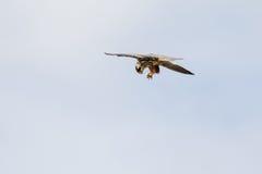 Hobby falcon Falco subbuteo feeding, eating dragonfly. Hobby falcon Falco subbuteo dismembering eating feeding on chaser dragonfly on-the-wing flying against Stock Photos