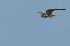 Hobby Falcon Flying with Dragonfly in its Paws Stock Photography