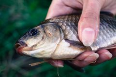 Hobby fishing caught a carp in the hand of man. Fishing caught a carp in the hand of man Stock Photo