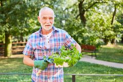 Hobby gardener with a basket of basil royalty free stock photography