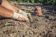 Hobby gardener plants strawberry seedling. Side-view of two hands planting a strawberry seedling in the ground. Sunny atmosphere Royalty Free Stock Photos