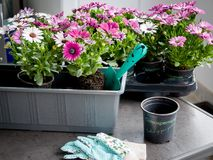 Hobby gardening on the balcony. Pots with colorful flowers Osteospermum, to decorate the balcony Royalty Free Stock Images