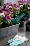 Hobby gardening on the balcony. Pots with colorful flowers Osteospermum, to decorate the balcony Royalty Free Stock Photo