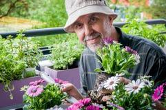 Hobby gardener. Elderly man planting  colorful flowers Osteospermum on the balcony. Hobbies and leisure Stock Images
