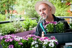 Hobby gardener. Elderly man planting  colorful flowers Osteospermum on the balcony. Hobbies and leisure Royalty Free Stock Images