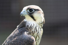 Hobby Hawk. Profile of a hobby hawk, traditionally used for falconry royalty free stock photography