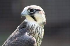 Hobby Hawk royalty free stock photography