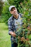 Hobby ogrodniczka dba dla krzak czernicy Zdjęcia Stock