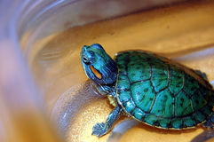 Hobby Pet Turtle. Keeping a pet turtle as a hobby Stock Photography