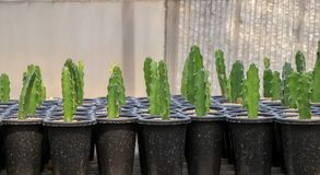 Cereus Peruvianus cactus royalty free stock photo