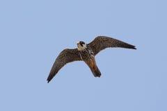 Hobby (subbuteo di Falco) in volo Fotografia Stock Libera da Diritti