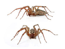 The Hobo Spider, Tegenaria Agrestis Stock Images
