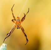 Hobo Spider. In Utah, spinning web royalty free stock photography