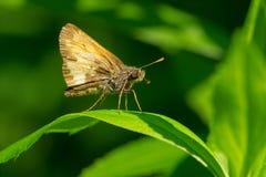 Hobomok Skipper Butterfly - Poanes hobomok. Hobomok Skipper Butterfly perched on a leaf. Rouge National Urban Park, Toronto, Ontario, Canada Stock Images