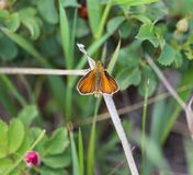 Hobomok skipper butterfly small insect colourful orange beauty. Unusual uncommon Poanes-hobomok stock image