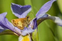 Hobomok Skipper nectaring on Blue Flag Iris Stock Photography