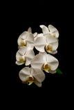 Hochauflösende weiße Orchideen auf Schwarzem Stockbild