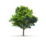 Hochauflösender Baum lokalisiert auf einem weißen Hintergrund stockfotografie