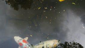 Hochauflösender Film 1080p der bunten koi Fischschwimmens im Teich im japanischen Garten stock video footage