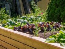Hochbeet mit Kopfsalat-Anlagen Lizenzfreies Stockbild