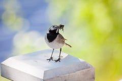 Hochequeue avec des insectes dans le bec Image stock