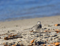 Hochequeue blanche sur la plage Photo stock