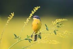 hochequeue d'oiseau se reposant sur le trèfle des champs jaune Photographie stock