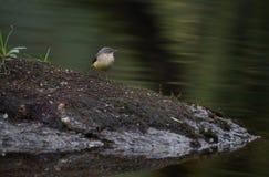 Hochequeue grise, Motacilla cinerea, femelle simple par l'eau photo stock