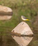Hochequeue jaune à une rivière Images stock