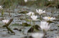 Hochequeue jaune avec l'étang de lillies de l'eau image stock
