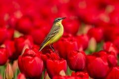 Hochequeue jaune sur une tulipe rouge images stock