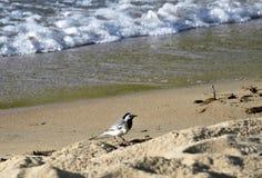 Hochequeue sur le lac Photo libre de droits