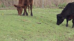 Hochequeues jaunes (flava de Motacilla) alimentant autour des bétail des montagnes banque de vidéos