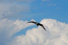 Hochfliegende kahle Adler Lizenzfreie Stockfotos