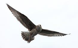 Hochfliegende Seemöwe Lizenzfreies Stockfoto