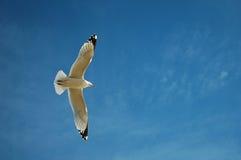 Hochfliegende Seemöwe lizenzfreies stockbild